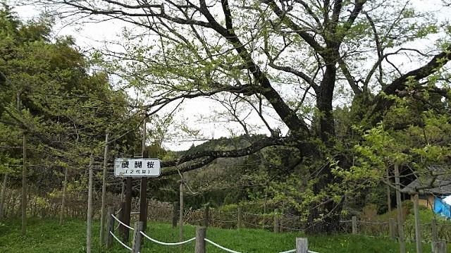 170420 醍醐桜⑧ ブログ用