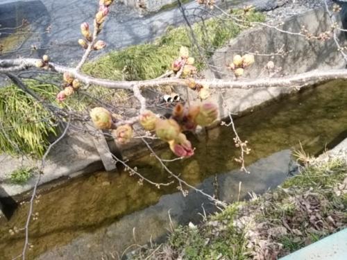 2017桜並木
