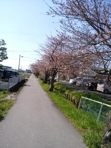 2017-4-3桜