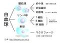 4月ブログ白血球