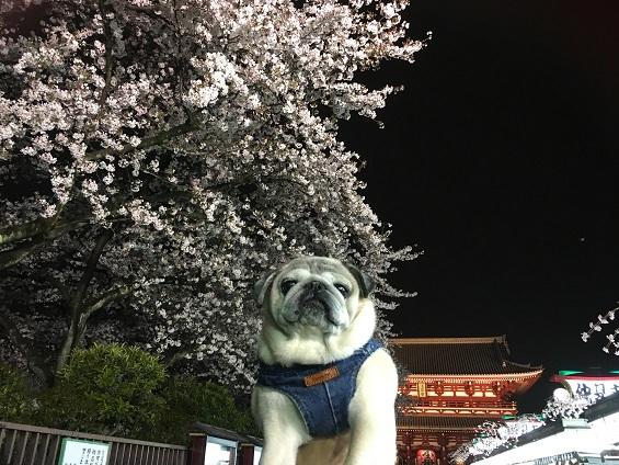 夜桜20170408