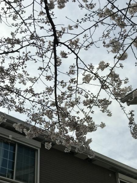 170402桜祭り③