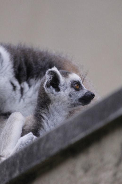 '17.4.29 baby ring tail lemur 8605