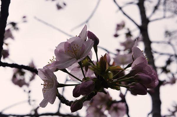 優しい山桜のお花のアップ