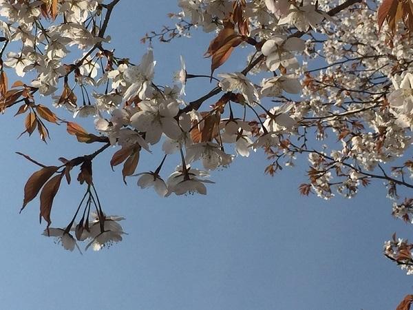 少し気の早い五月晴れと桜