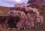 2.三春の花-11P 00t