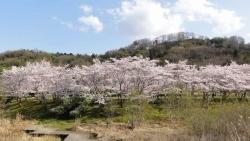 鏡山公園の桜20170412-05