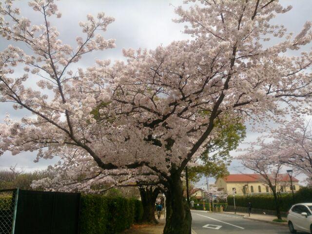 17 桜甲東園10