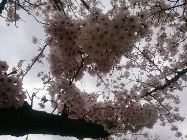 17 桜甲東園4
