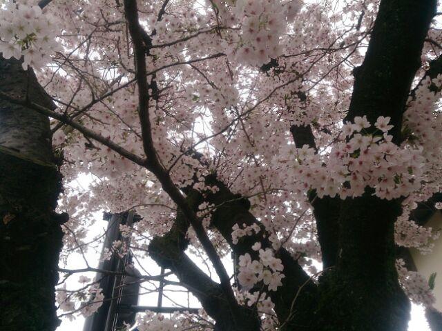 17 桜甲東園1