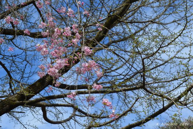 枝垂れ桜とイチョウ2