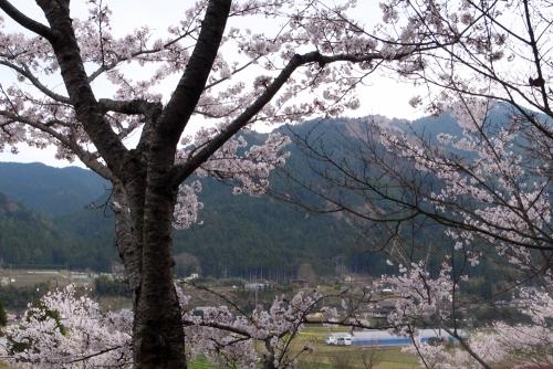 cherry_blossom_17_4_15_6.jpg