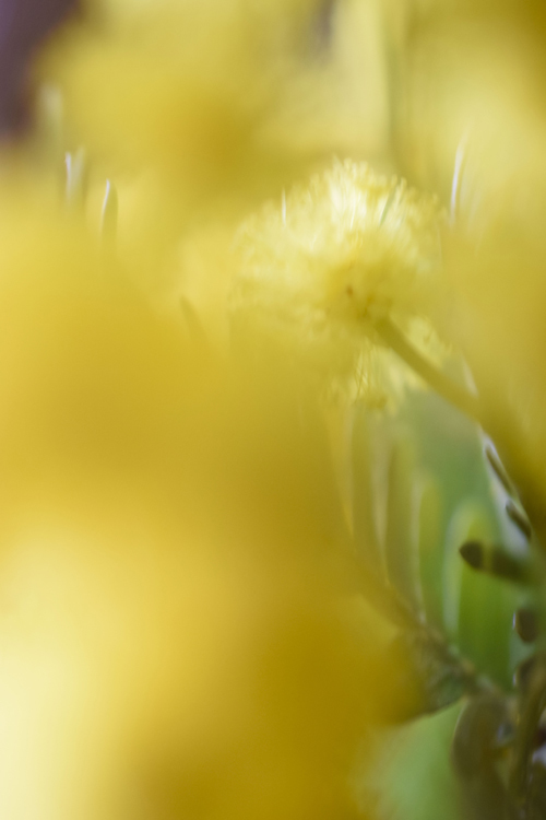 mimosa_17_3_3_4.jpg