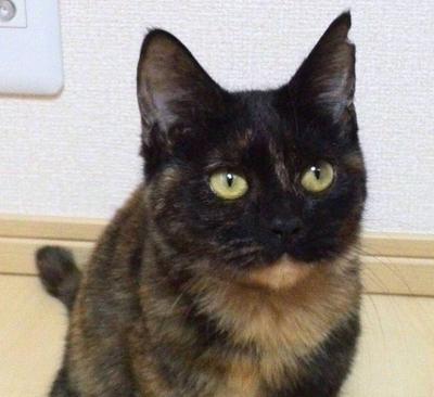 美しいサビ猫のサザエさん(10ヶ月 女の子)参加します