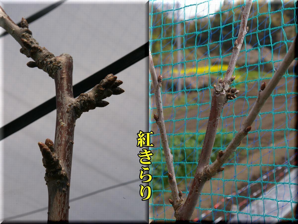 1benikirari170404_019.jpg