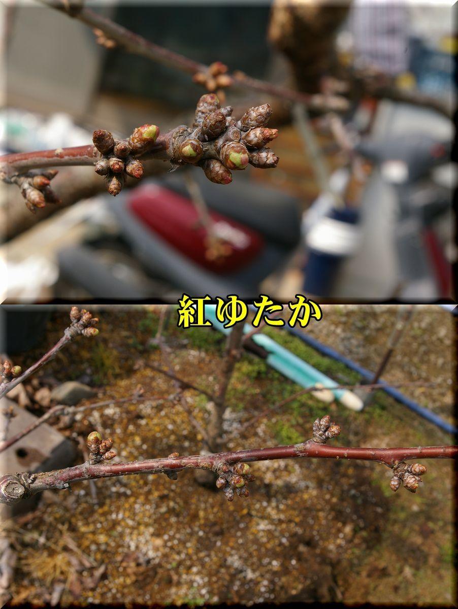 1beniyutaka170404_030.jpg