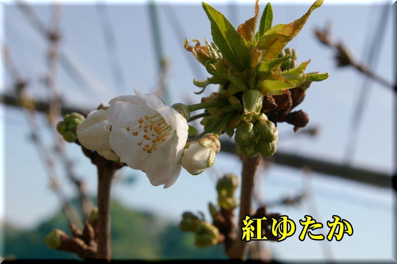 1beniyutaka170413_014.jpg