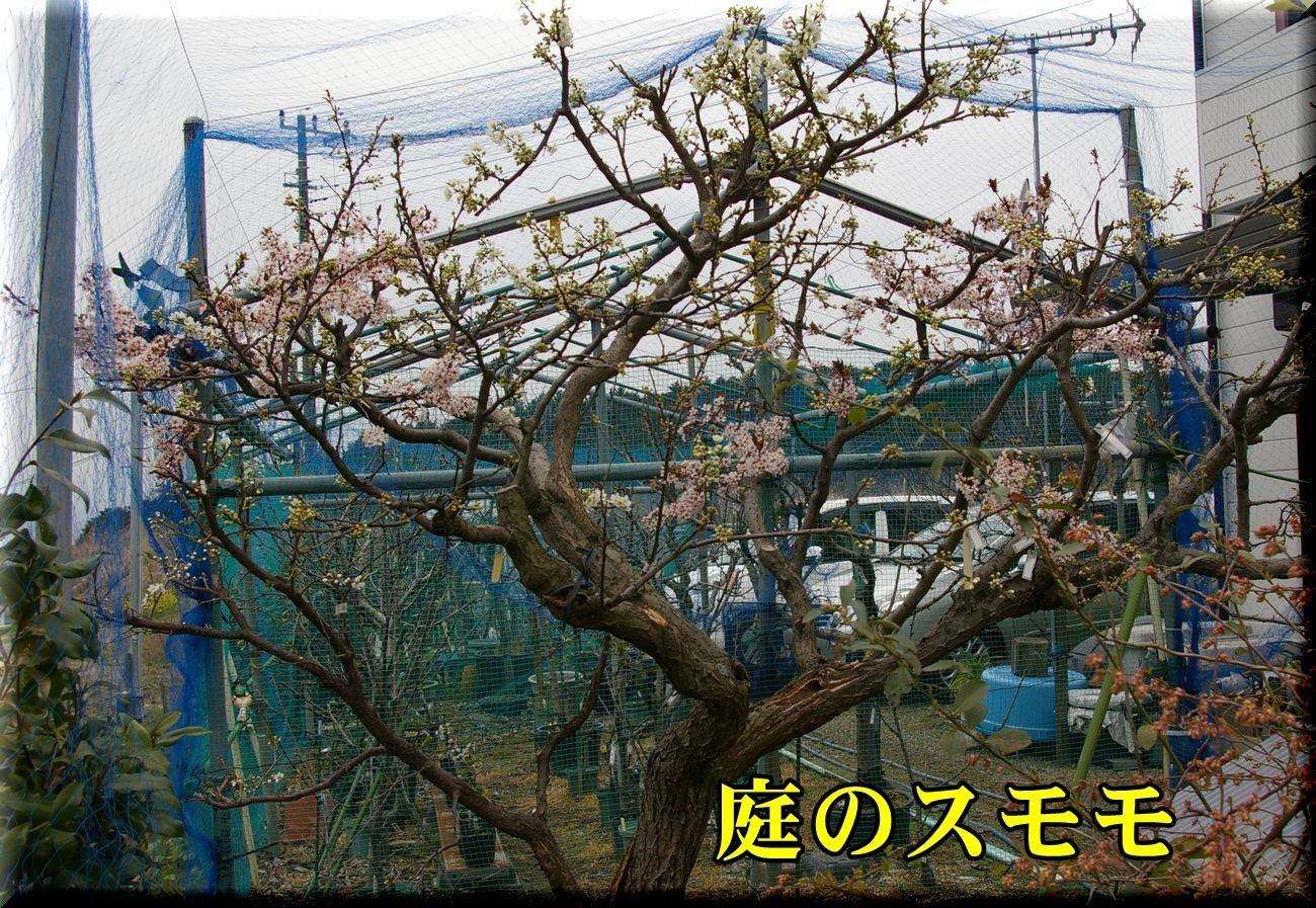 1niwa_sumo170331_037.jpg