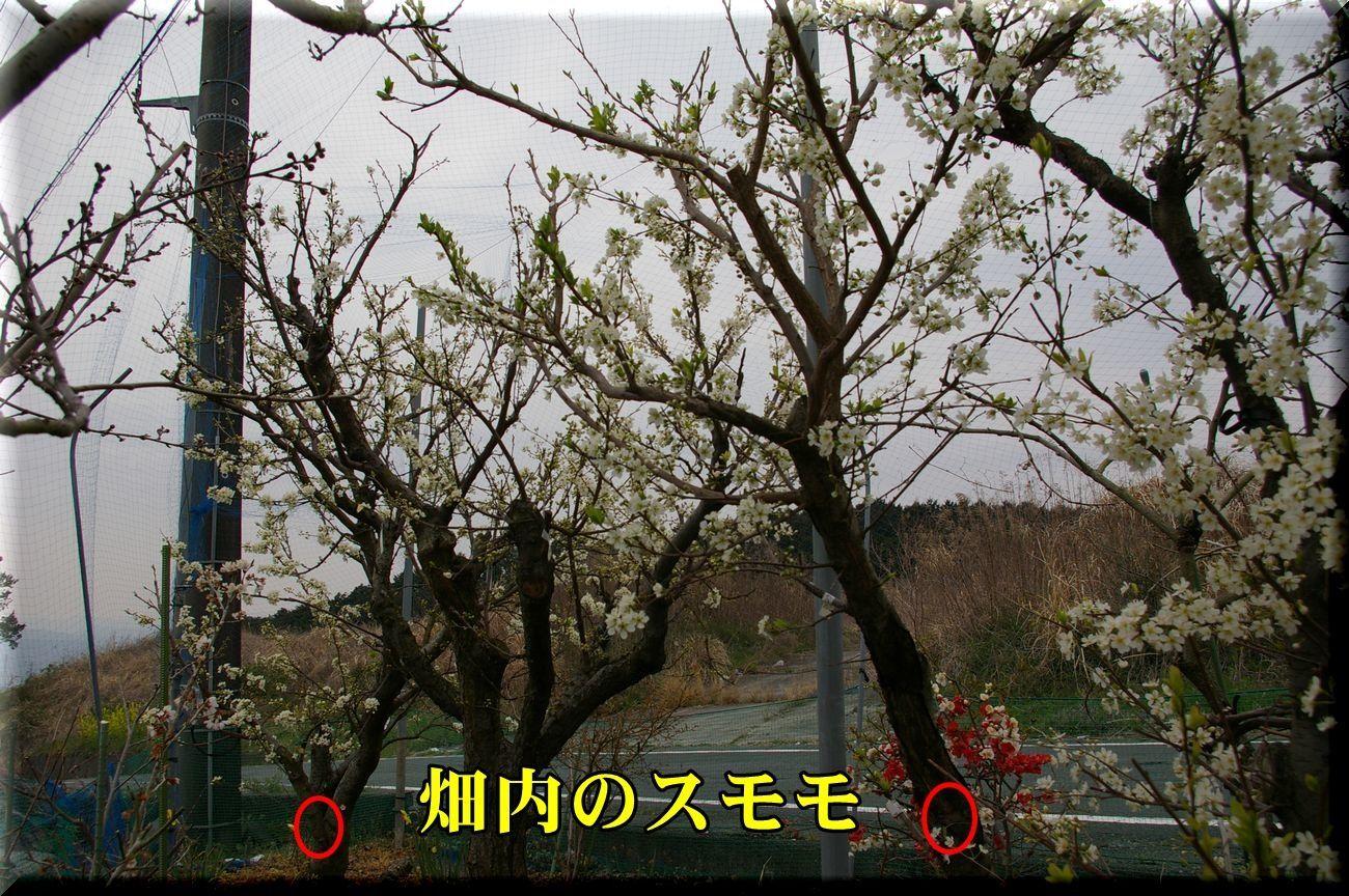 1sumomo170331_006.jpg