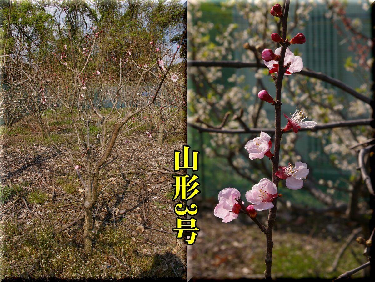 1yamagata170405_007.jpg