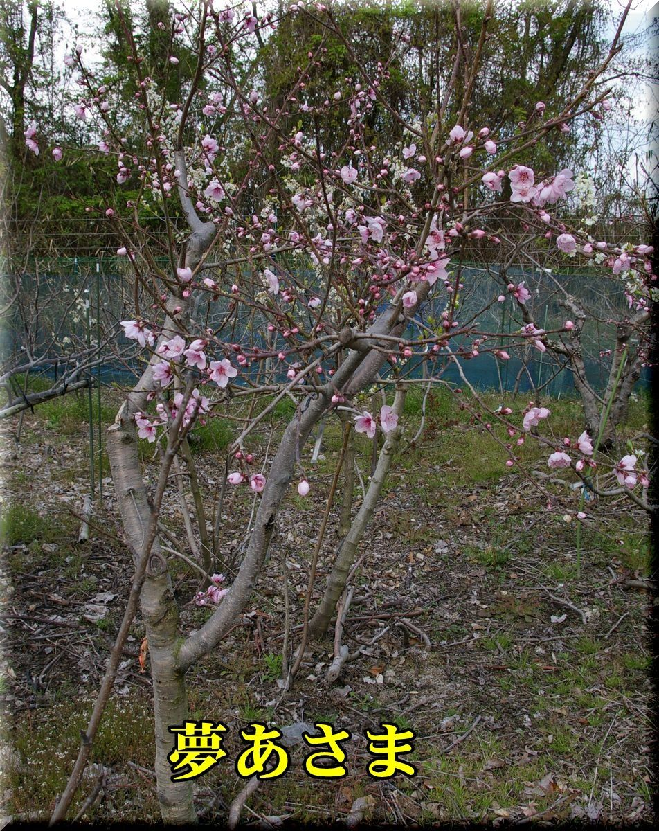 1yumeasama170405_009.jpg