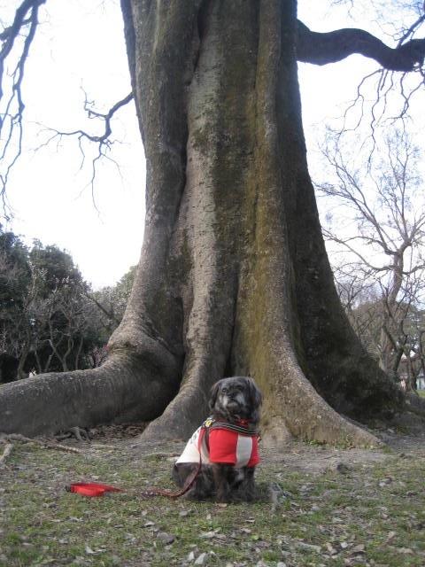 170225御所さんぽ⑫大木とふうた