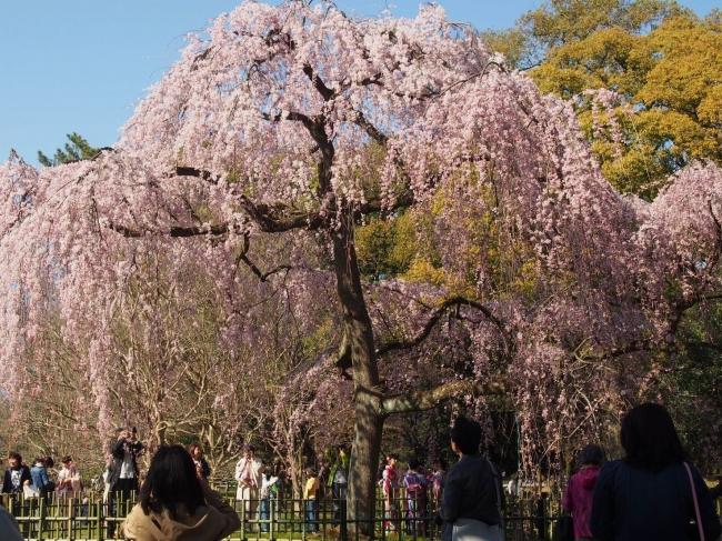 170402御所さんぽ①糸桜