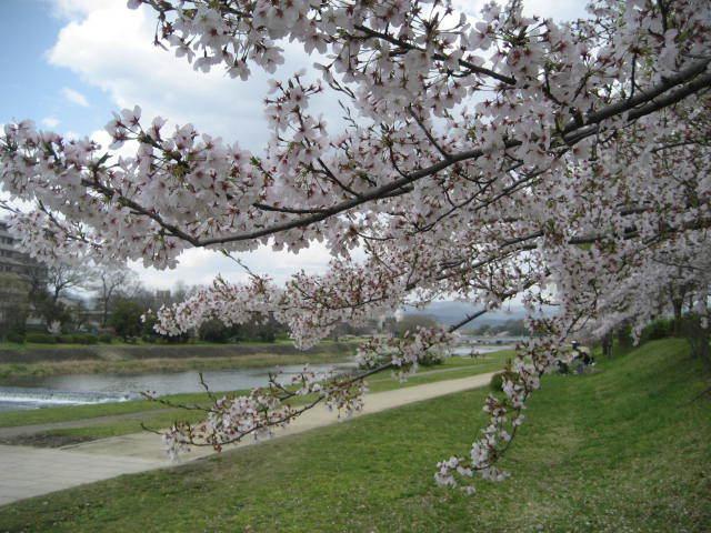 170413鴨川さんぽ㉚桜