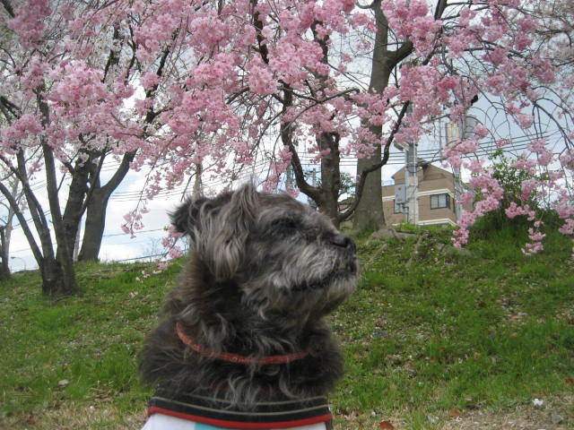 170413鴨川さんぽ⑱枝垂れ桜とふうた