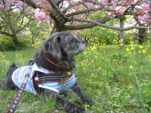 170422御所さんぽ⑩八重桜とふうた