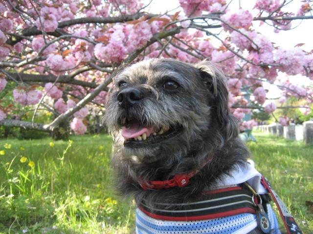 170422御所さんぽ⑦八重桜とふうた