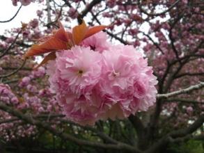 170420御所さんぽ⑤八重桜