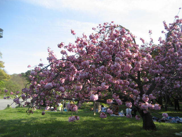170422御所さんぽ①八重桜