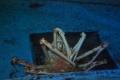 タカアシガニの交尾