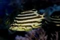 カゴカキダイ 幼魚