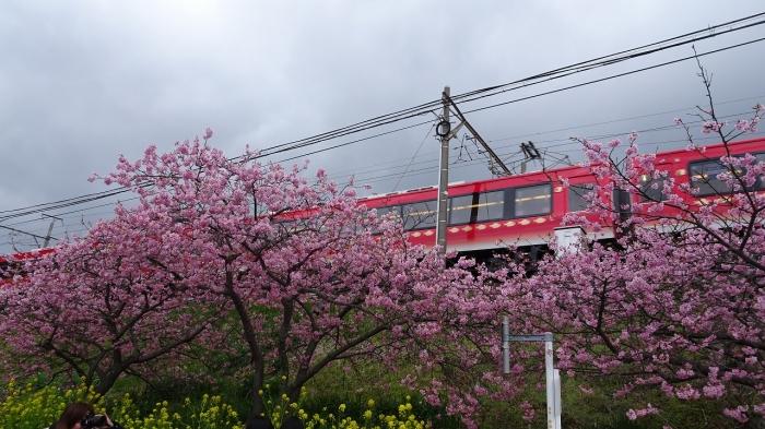 河津桜 (7)