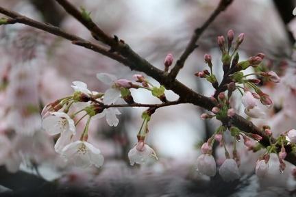 桜 H29年4月10日No2