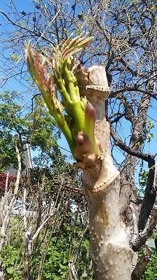 タラの芽1