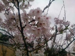 sakura@20170410-01.jpg