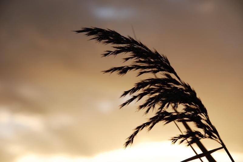 葦 (あし、よし) 加茂川河川敷 愛媛県西条市古川 10月の植物