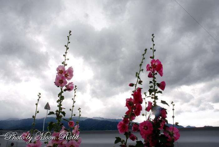 タチアオイ(立葵) 愛媛県西条市吉田 6月の花