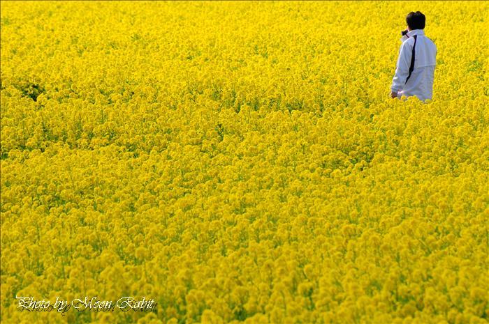 見奈良のナノハナ畑