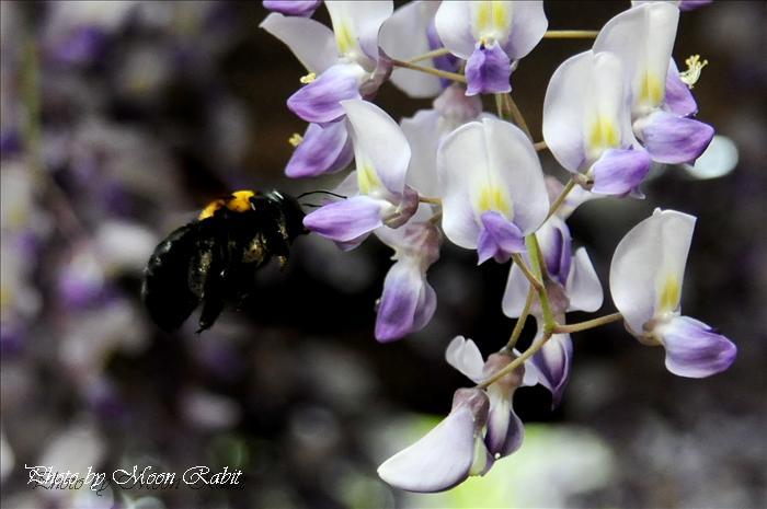 お観音さんの藤と蜂