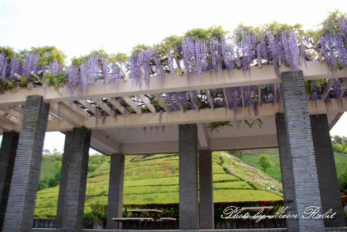 小松中央公園の藤棚