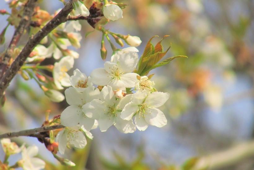 sakurasou170312-103.jpg