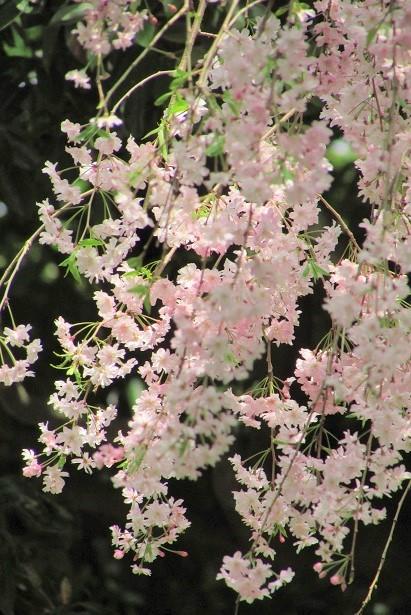 shiminnomori170416-112.jpg