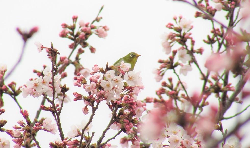 someiyoshino170401-103.jpg