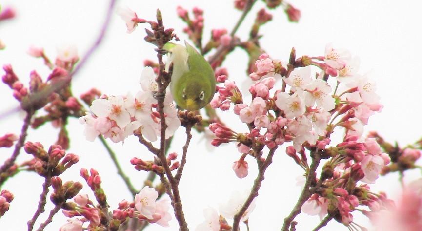 someiyoshino170401-106.jpg