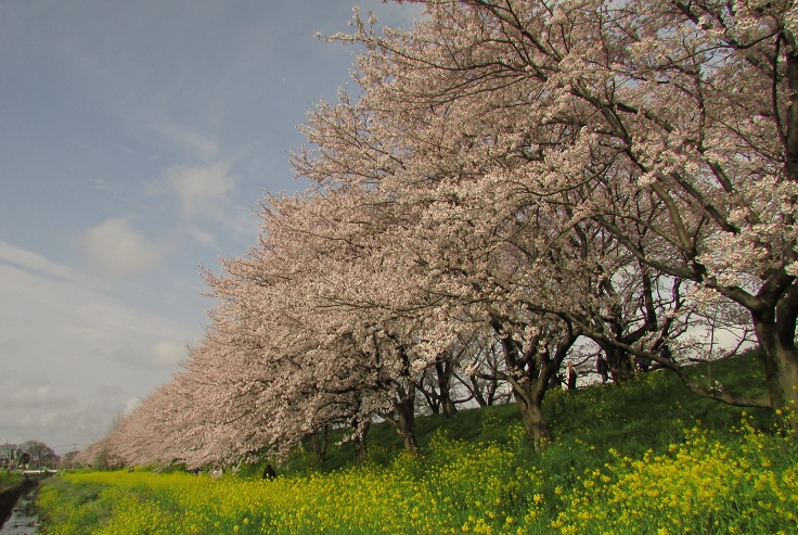 yoshimi-sakura170409-101.jpg