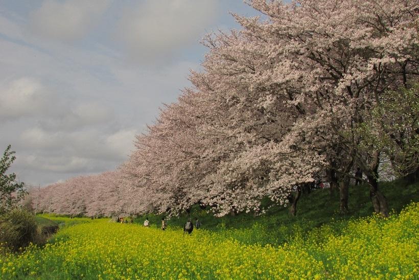 yoshimi-sakura170409-102.jpg
